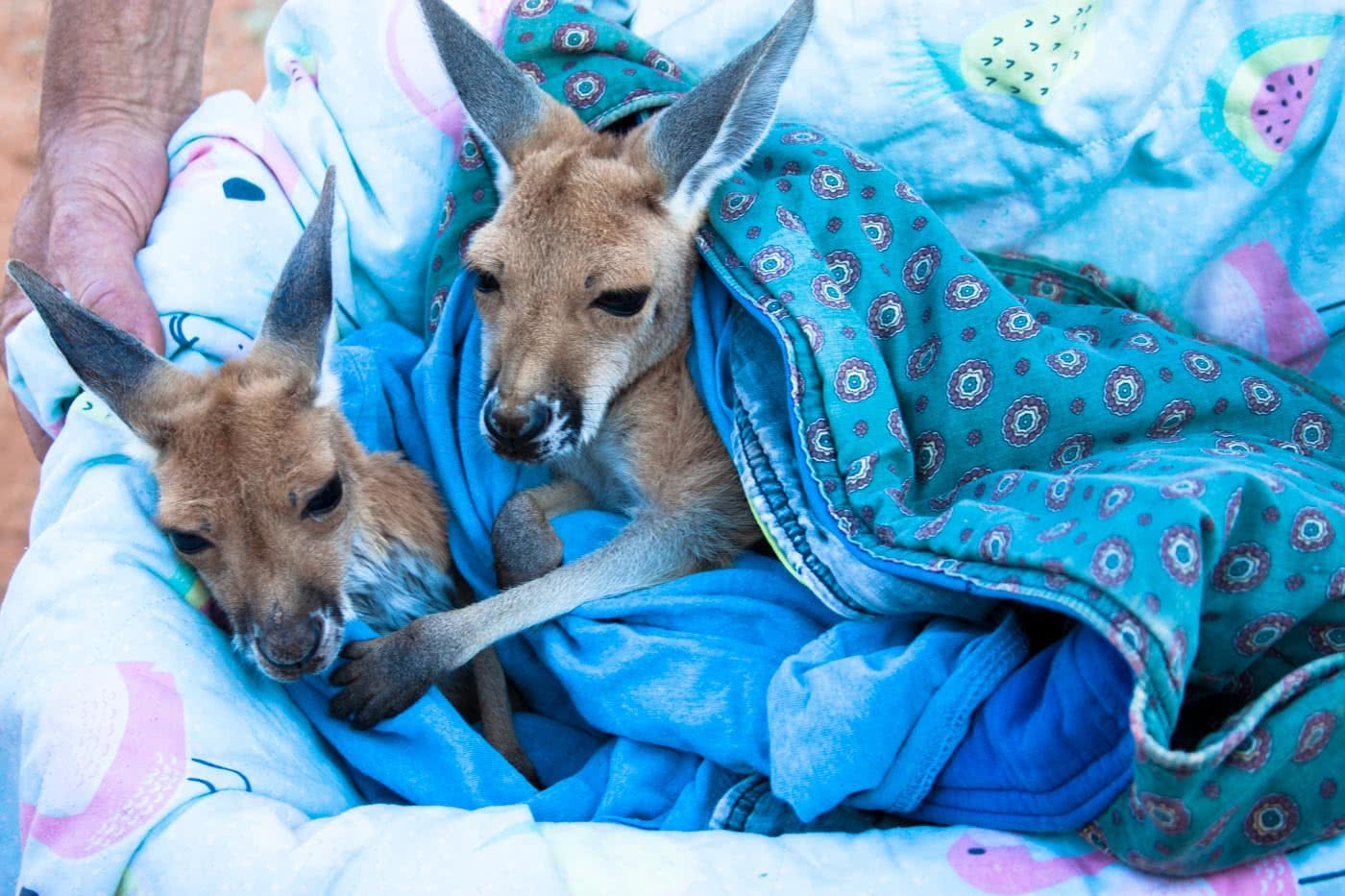 How (And Where) To See The Coolest Native Australian Animals Caitlin Weatherstone red kangaroo