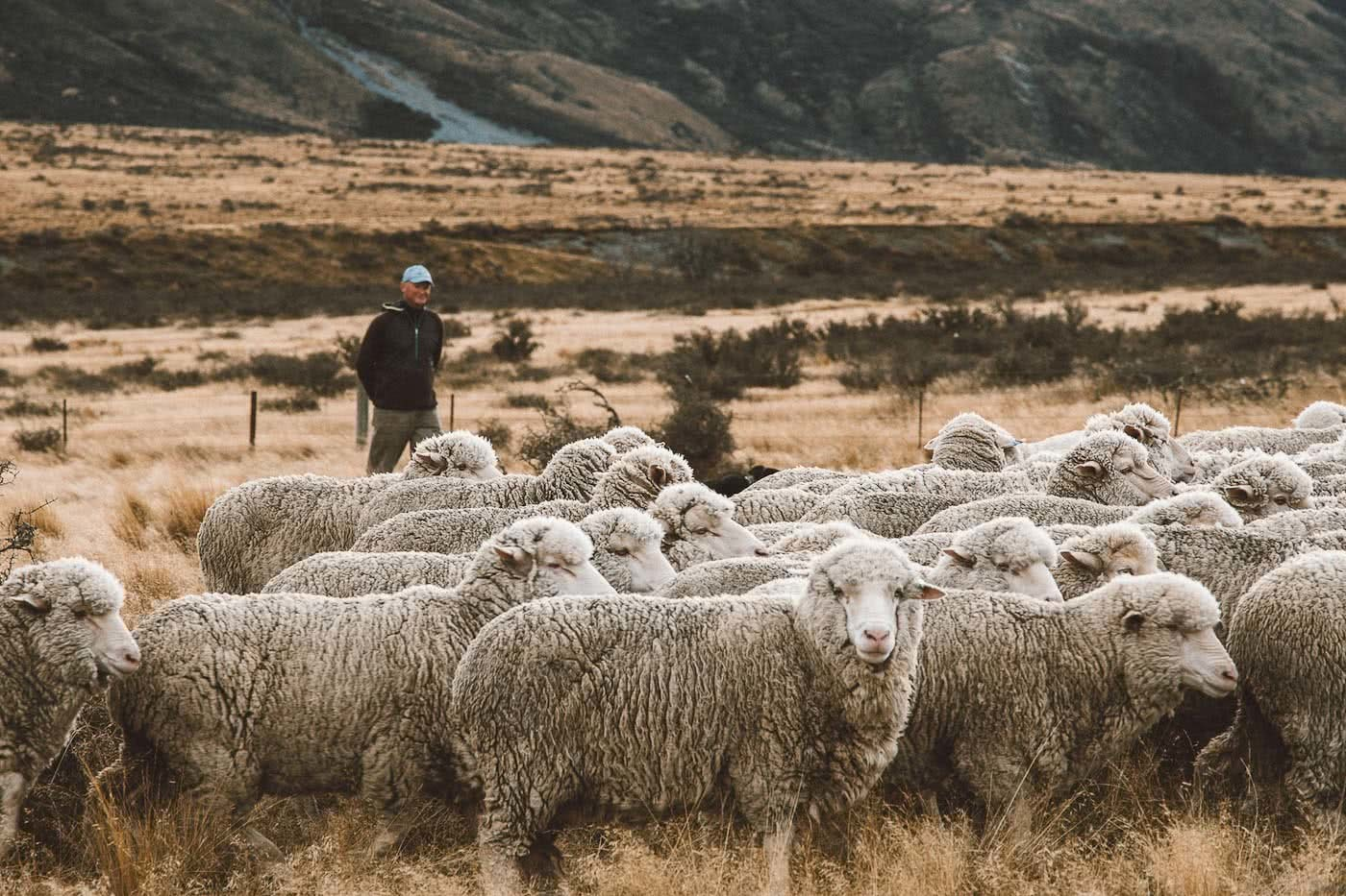 What's Life Like On A Wild South Island Merino Farm?, Photo by Joe Leep, merino, icebreaker, nz, lake heron station, sheep