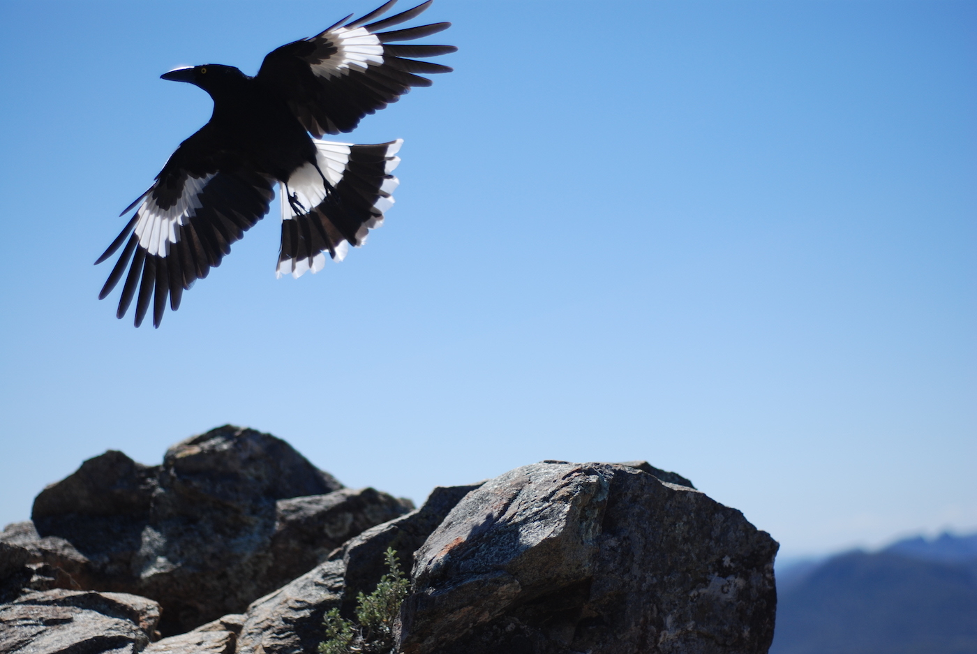 An Explorer's Guide To Hiking With A Camera by Zac de Silva magpie, bird