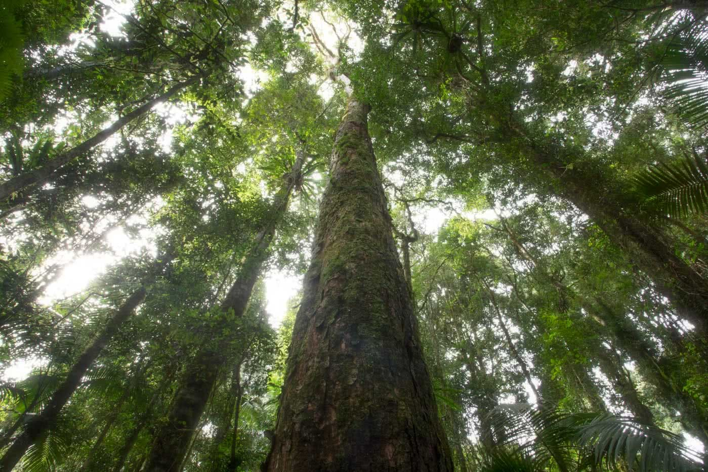 A Step Back In Time // Border Ranges National Park (NSW) by Conor Moore Cedar tree