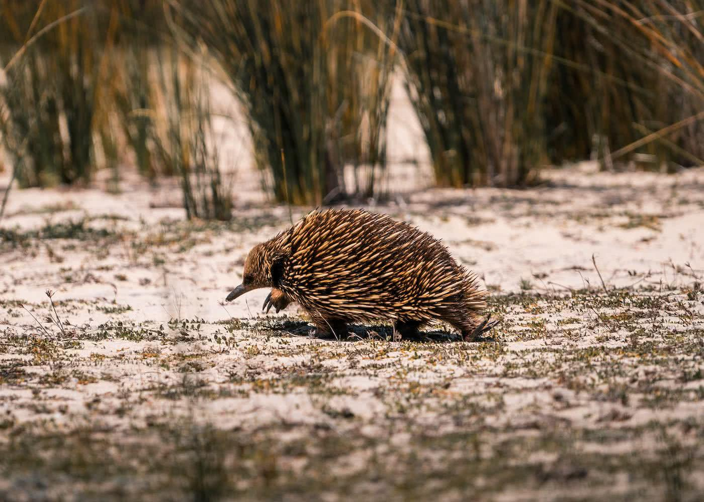 8 Great Reasons To Take Your Mates To Eurobodalla, photo by Fin Matson, echidna, Bingi Bingi Dreaming Track, sand