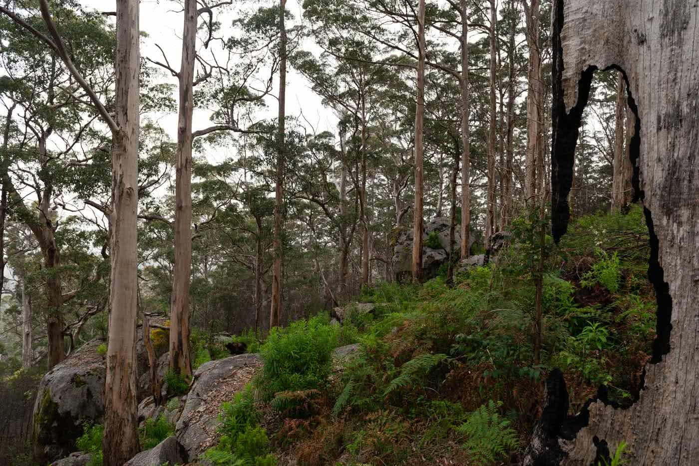 Around The Mountain On The Caldyanup Trail // Walpole(WA), Megan Warner, gum trees, fern, forest, rain