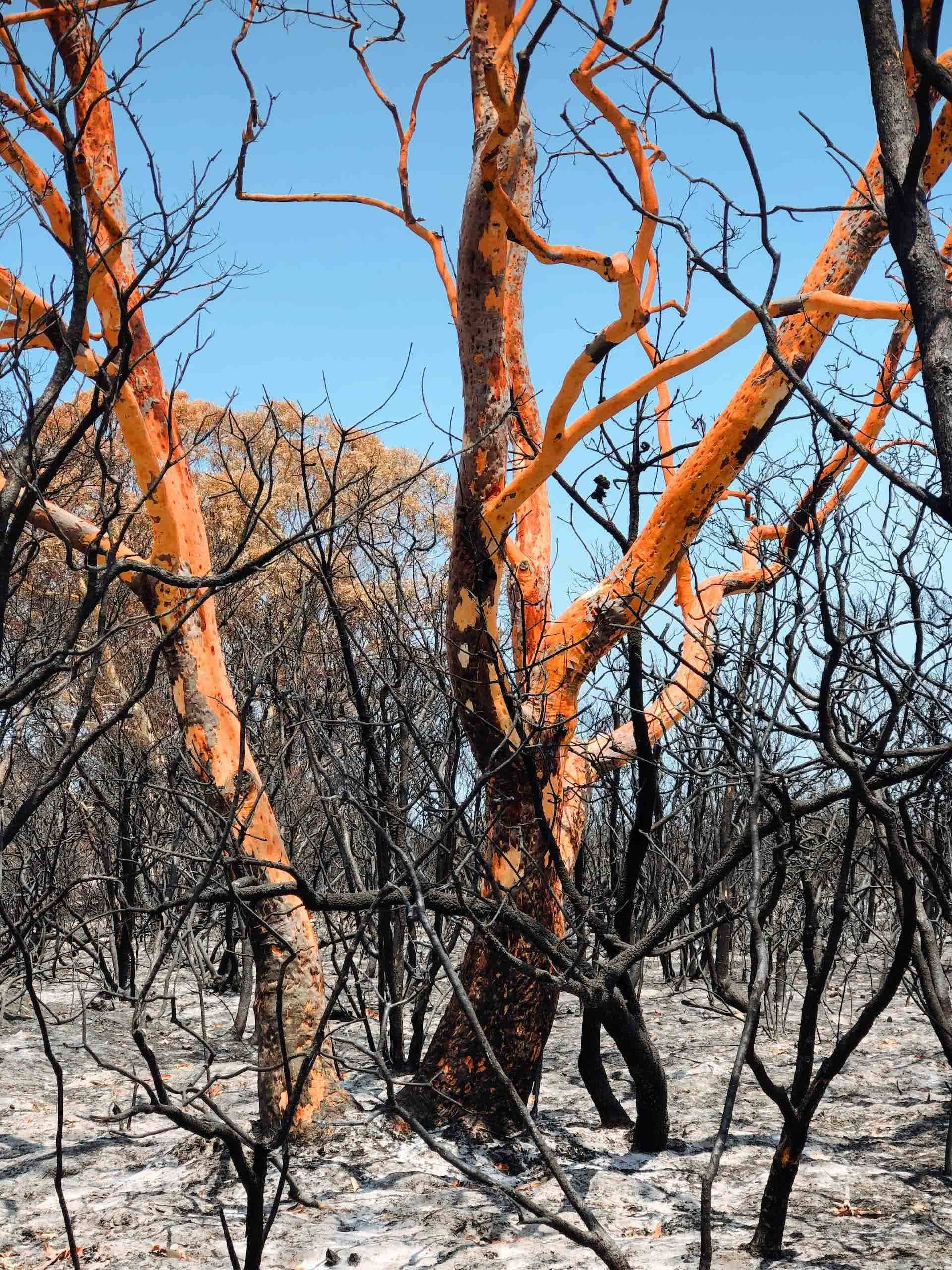 After The Flames – What Does A Bushfire Leave Behind?, Amy Fairall, photo by Anouk Berney, trees, burnt, orange