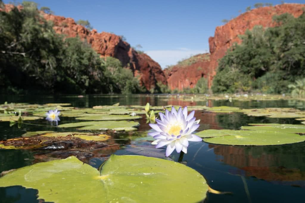 Oases Are Real! // Lawn Hill Boodjamulla National Park (QLD), Conor Moore, water lily, gorge, river, red cliffs, flower, lily pads