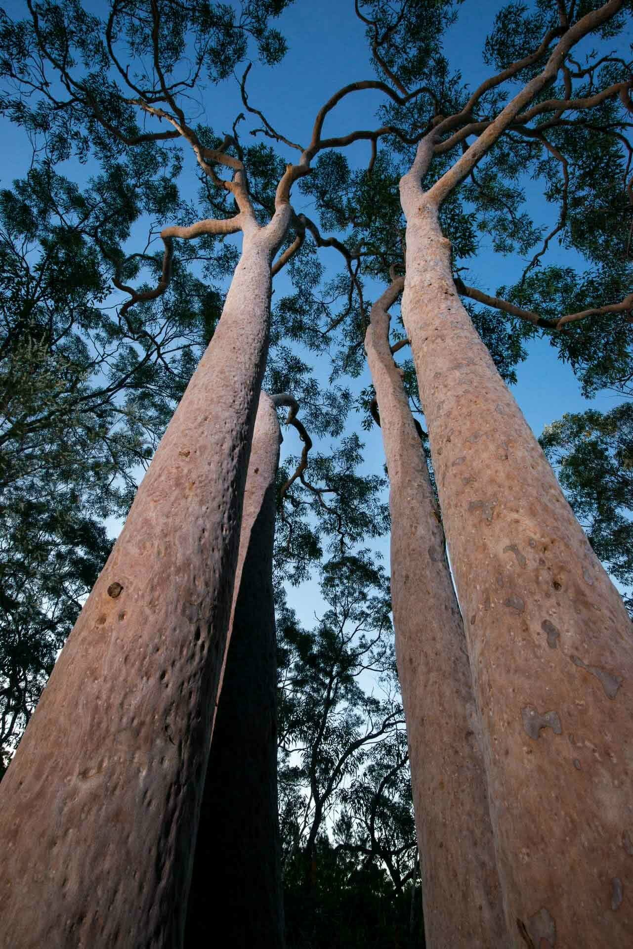 Wild Sydney – A Photo Essay, photo by Chris Firth, Sydney, NSW, gums, trees, eucalyptus