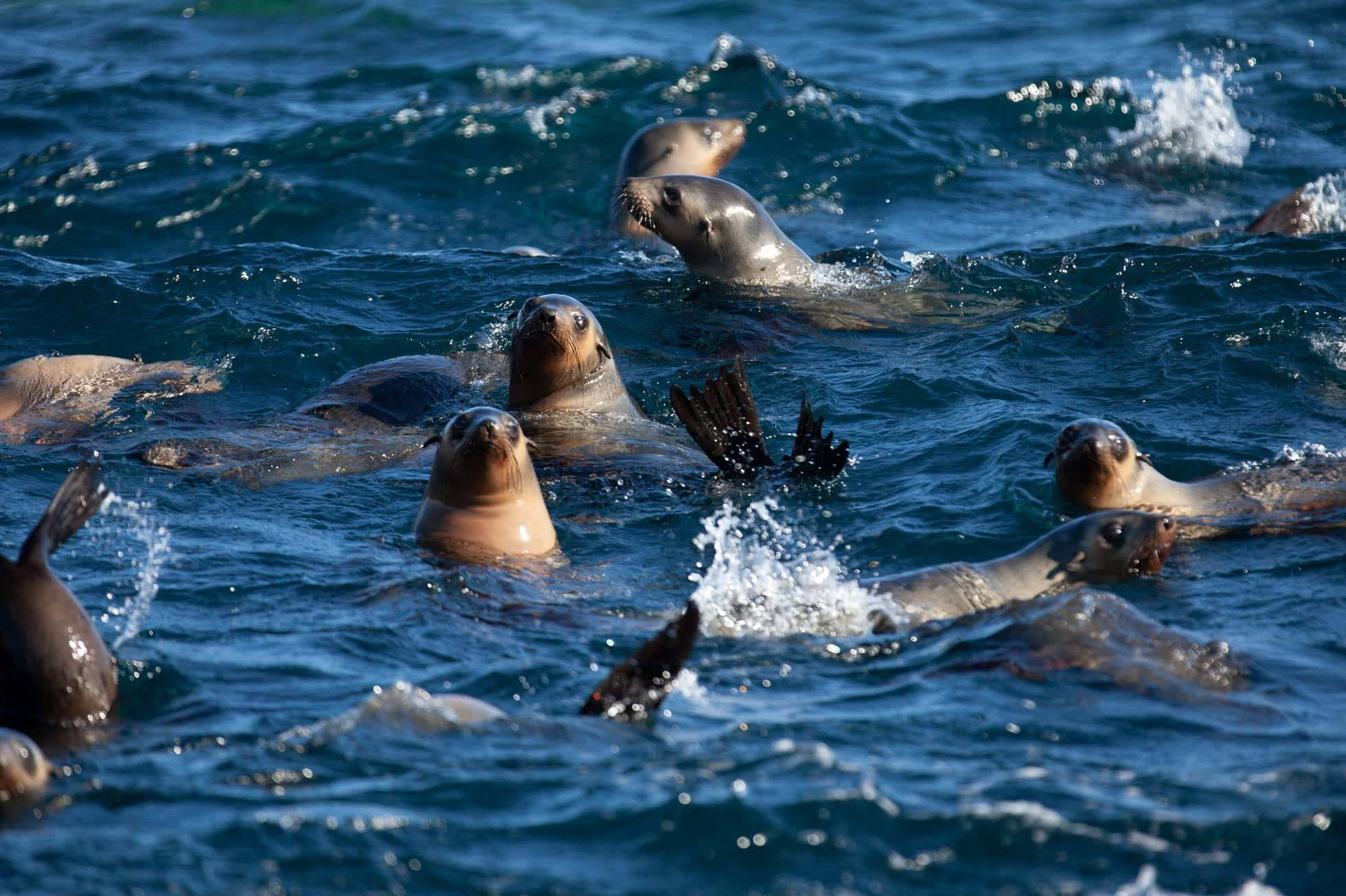Wilsons Promontory Cruise, Prom Cruises, Seals