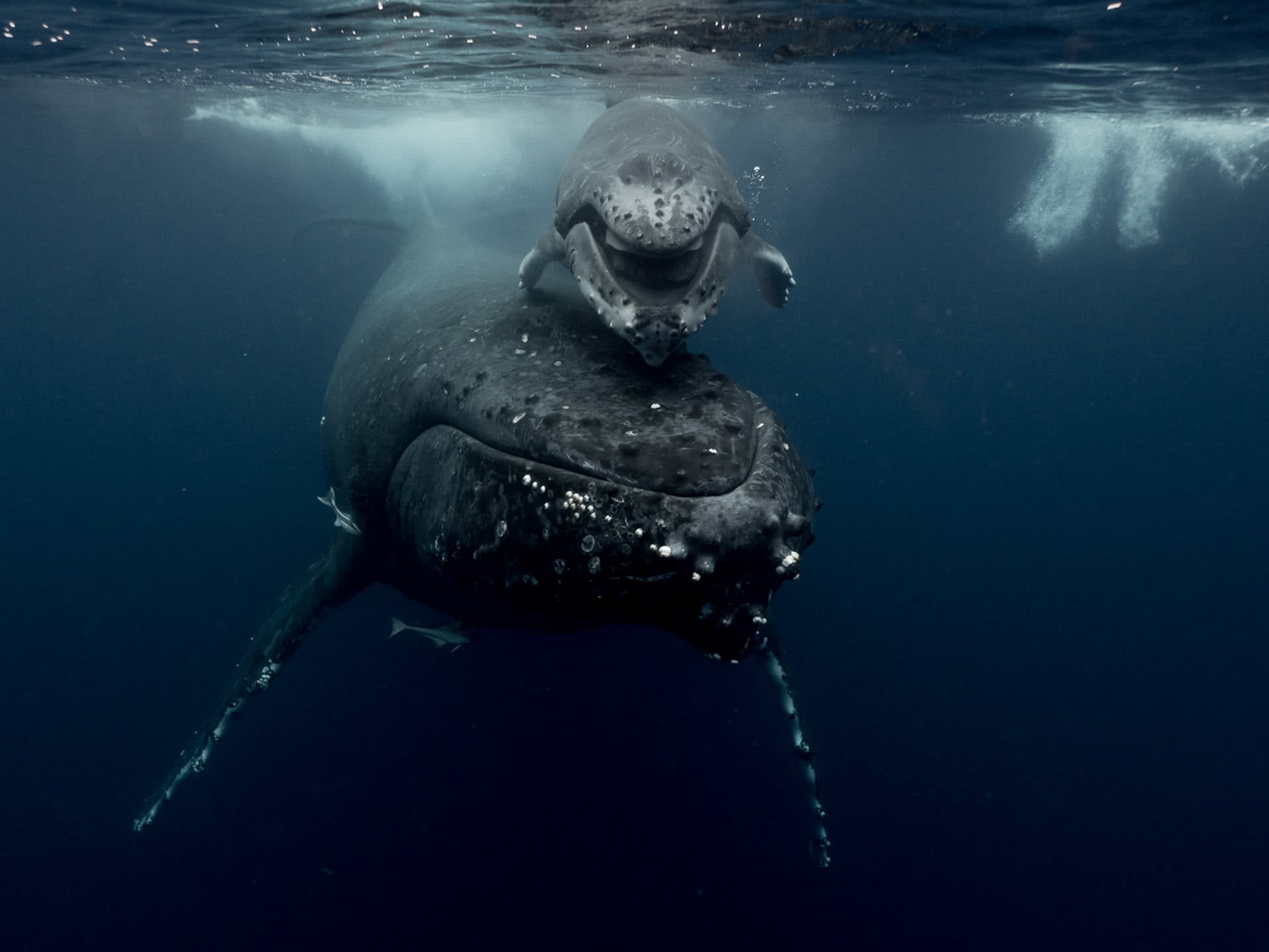 humpback whale calf - smiling, Antarctica - crab seal rests on floating ice, michaela skovranova, @mishkusk
