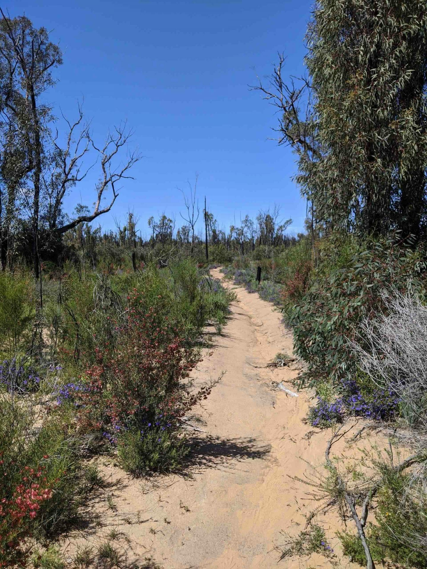 Pilliga Forest is Where Nature and Culture Collide, Amy Fairall, hike, trail, trees, shrubs, flowers