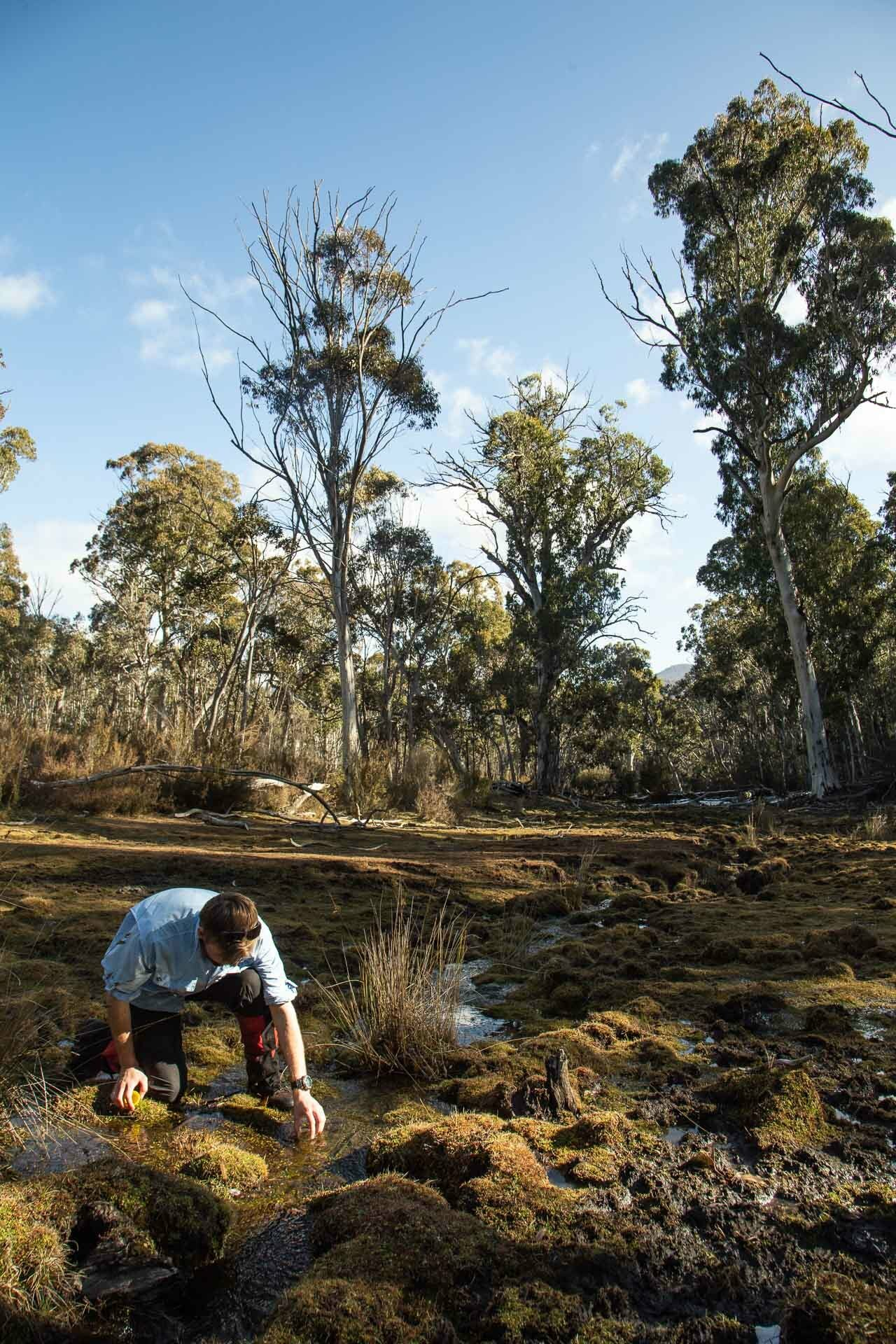 How Feral Horses Damage Australia's Precious Alpine Environments, Photo by Jason Macqueen, exclusion plots, kosciuszko, nsw, damage, pugging