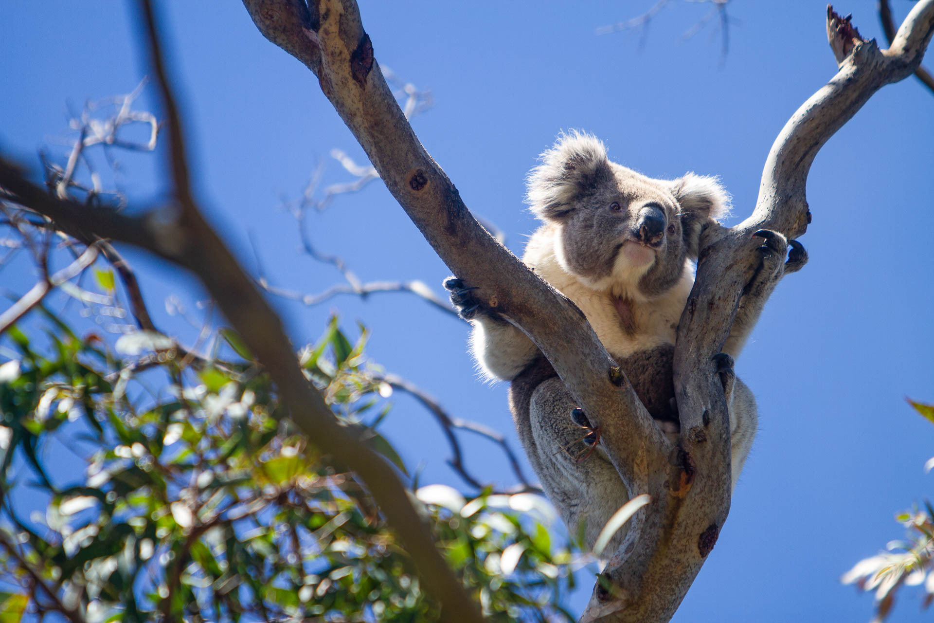 Koalas Under Threat – Can We Save Our Most Iconic Australian Animal, Marie-Laurence Paquette, koala in a tree, eucalypt, animal, native