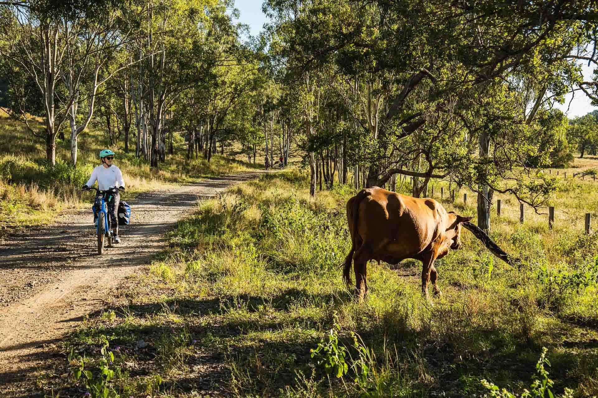 Beers, bakeries and barely any uphill? Cycling the 161km Brisbane Valley Rail Trail - Lachlan Gardiner: Cycling, QLD, BVRT, Cow